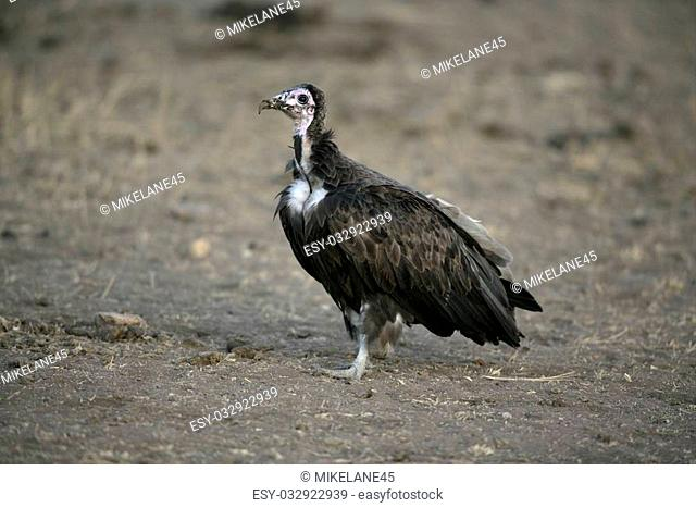 Hooded vulture, Necrosyrtes monachus, single bird on floor, Tanzania