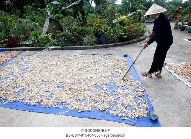 Farmer harvest traditional chinese medicine. Ho Chi Minh City. Vietnam