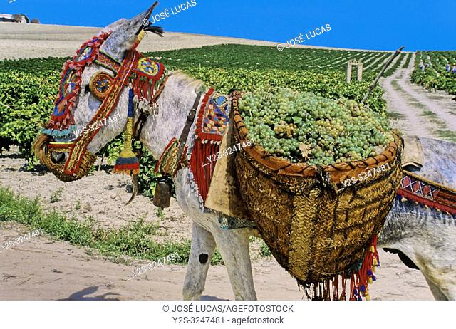 Old vintage. Donkey with grapes. Sanlucar de Barrameda. Cadiz province. Region of Andalusia. Spain. Europe