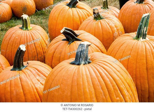 USA, Connecticut, Woodstock, Pumpkins on field