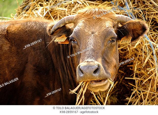 vaca autoctona mallorquina, finca Es Bosch Vell, Santa Margalida, Mallorca, balearic islands, spain, europe