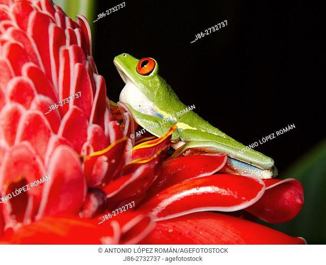Red eyed tree frog (Agalychnis callidryas) . Tortuguero National park, Limon province, Costa Rica