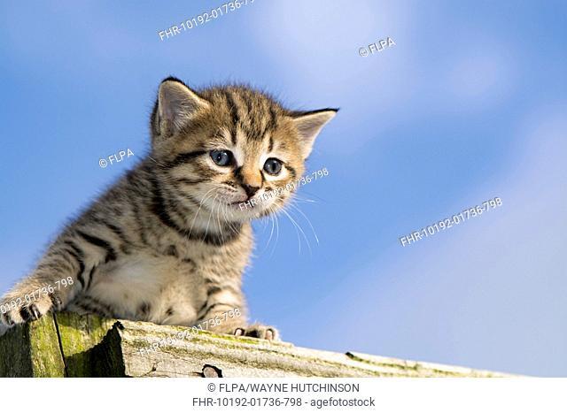 Domestic Cat, tabby kitten, exploring outdoors, England, November