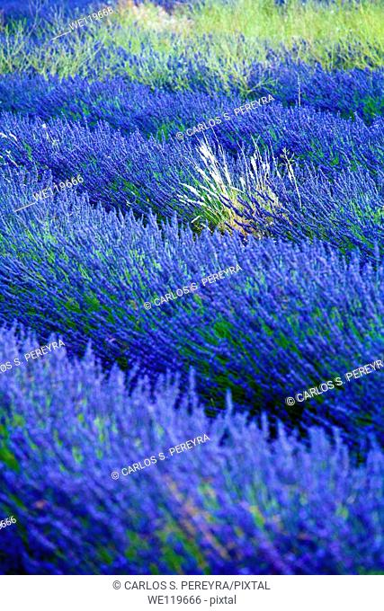 Blooming field of Lavender Lavandula angustifolia around Sault and Aurel, in the Chemin des Lavandes, Provence-Alpes-Cote d'Azur, Southern France, France