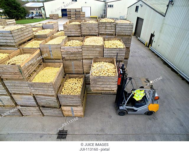 Worker driving forklift moving bin of fresh harvested potatoes