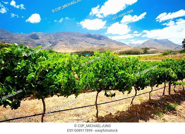 beautiful vineyard in South Africa