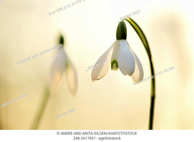 Snowdrop (Glalnthus nivalis ), close up with back-light at sunset, Netherlands