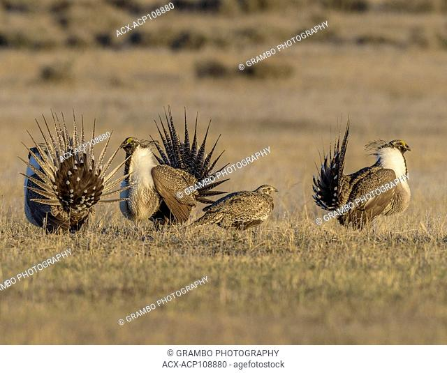 Sage Grouse, Centrocercus urophasianus, males dancing on their lek around female, Montana, USA