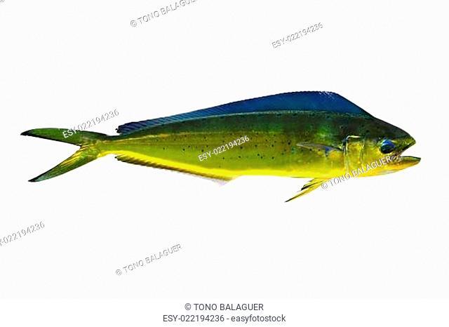 Aka Dorado dolphin fish mahi-mahi on white