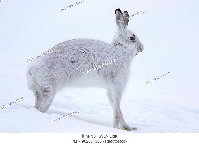 Mountain hare / Alpine hare / snow hare (Lepus timidus) in white winter pelage stretching limbs in the Scottish Highlands, Scotland, UK