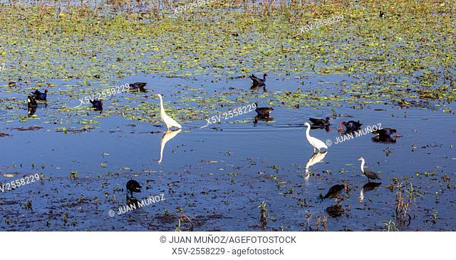 Mamukala birds in wetlands. Mamukala wetlands. Kakadu National Park. Northern Territory. Australia
