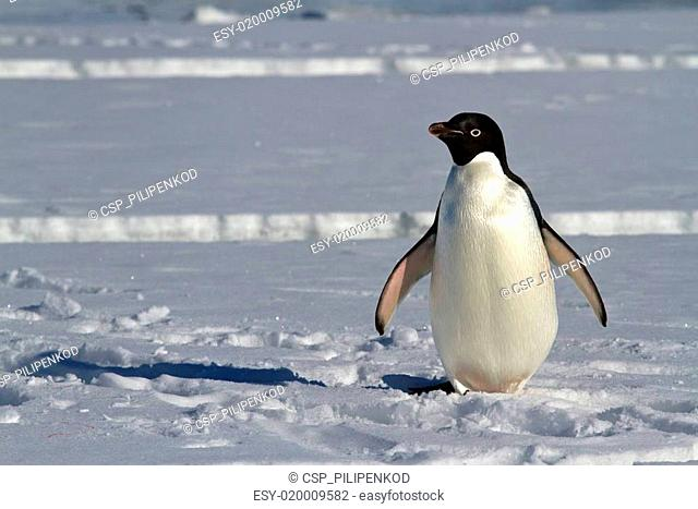 Adelie penguin which stands on the ice of the Antarctic Strait
