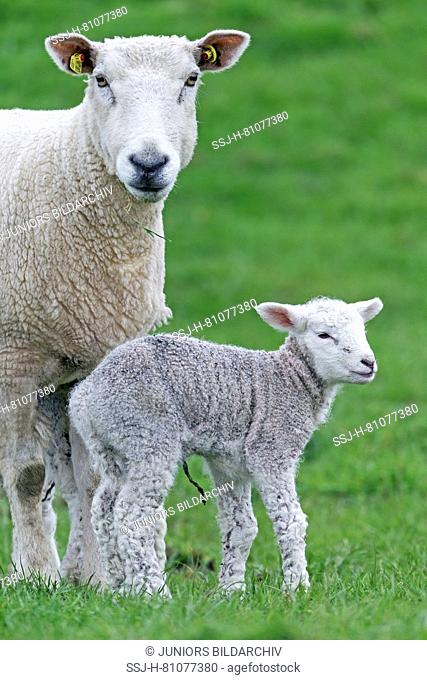 Domestic Sheep. Ewe and newborn lamb on a pasture. Schleswig-Holstein, Germany