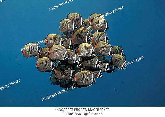 Swarm of Redtail butterflyfish (Chaetodon collare), Great Barrier Reef, Pacific, Australia