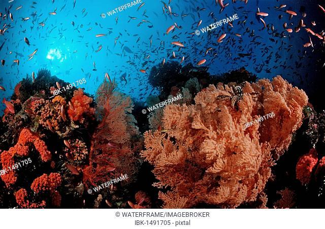 Sea-Fan and Anthias (Anthias), Komodo, Indian Ocean, Indonesia, Southeast Asia, Asia