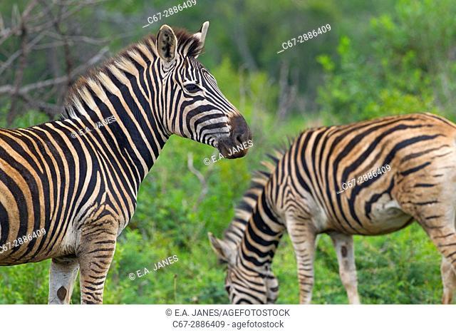 Burchell's zebra (Equus quagga burchellii) Natal S. Africa