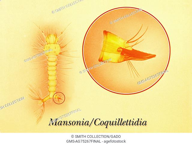 Drawing of Mansonia, or Coquillettidia mosquito larvae with siphon, or air tube, 1975. The Mansonia, and Coquillettidia mosquitoes