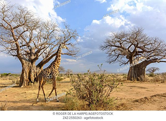 Maasai giraffe, or the Kilimanjaro giraffe (Giraffa camelopardalis tippelskirchi) amongst Baobab (also called dead-rat tree (from the appearance of the fruits)