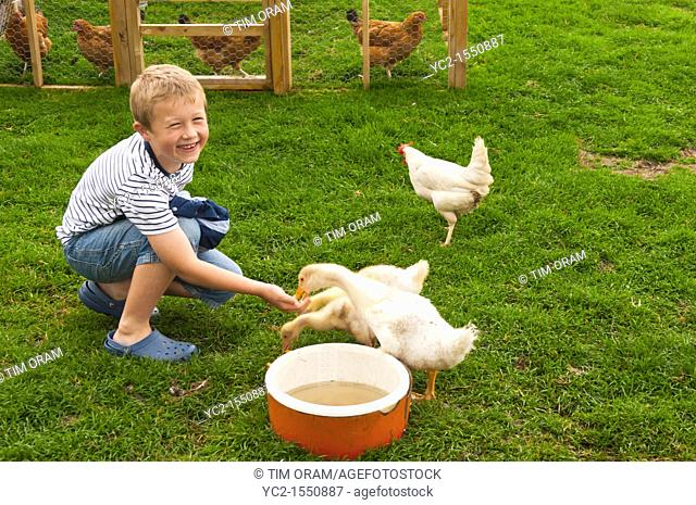 A boy feeding goslings at Hazel Brow Farm in the village of Low Row in Swaledale in North Yorkshire , England , Britain , Uk