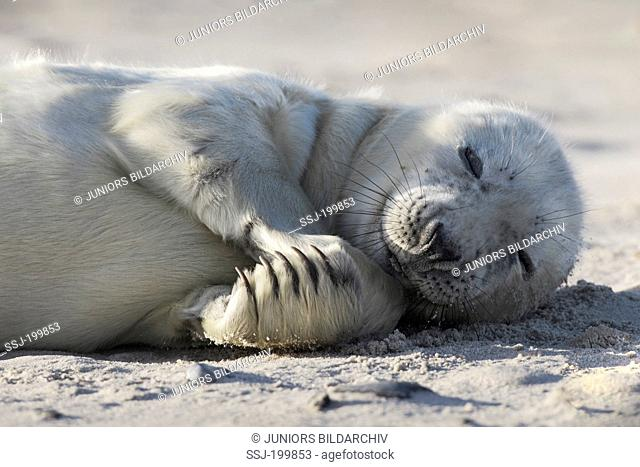 Grey Seal, Gray Seal (Halichoerus grypus). Pup lying on a beach. Helgoland, Germany