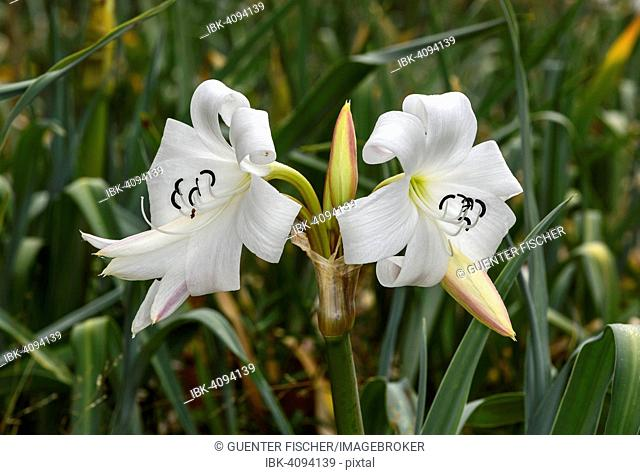 Crinum Lilies (Crinum abyssinicum), Harenna Forest, Bale Mountains, Oromia Region, Ethiopia