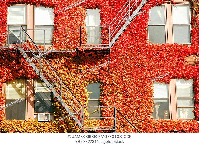 A building is covered in fall colored ivy