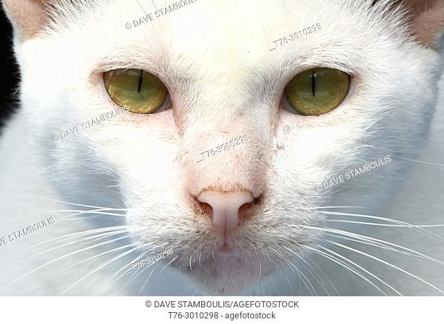 White cat with green eyes, Mergui Archipelago, Myanmar