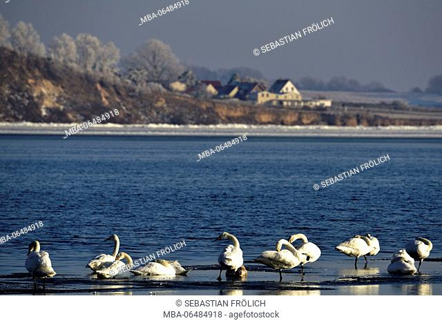 Swans on a floe in the wintry Bodden of the Baltic Sea on Rügen. In the background with hoarfrost covered trees and some houses