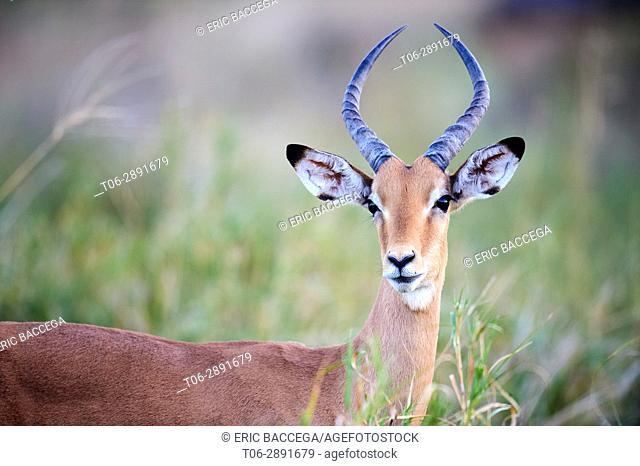 Male impala portrait (Aepyceros melampus). Moremi National Park, Okavango delta, Botswana, Southern Africa