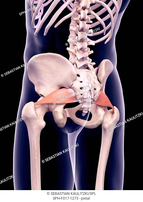 Illustration of the piriformis muscles