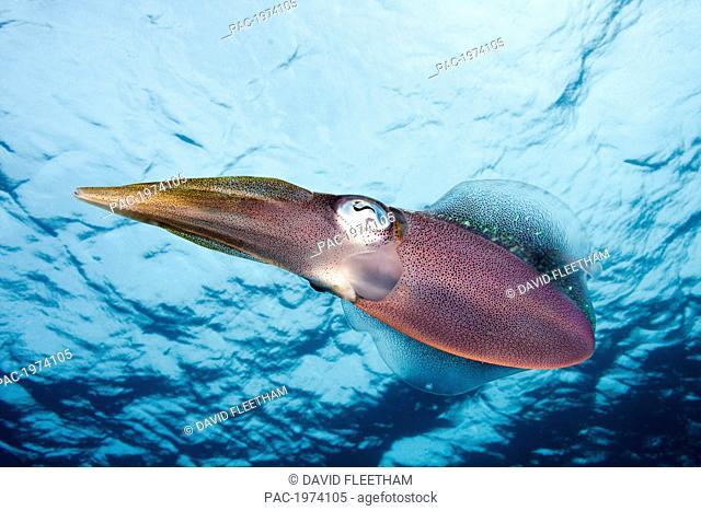 Caribbean, Bonaire, Reef Squid (Sepioteuthis Sepioidea)