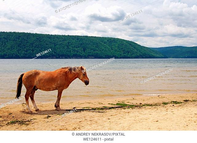 horse on the river bank Angara, Lake Baikal, Siberia, Russian Federation