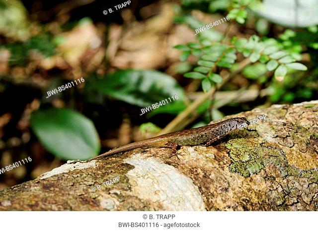Northern Pale-hipped Skink (Celatiscincus similis), on a branch, New Caledonia, Ile des Pins