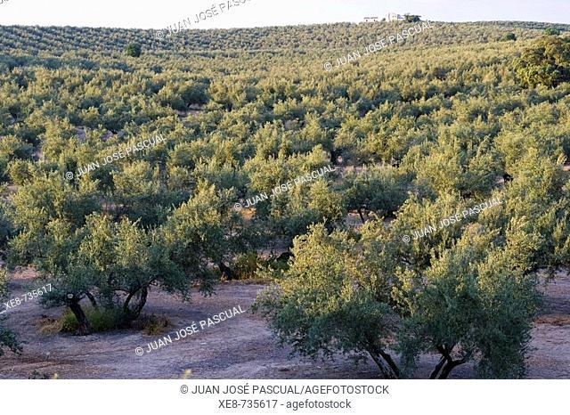 Olive groves near Martos. Jaen province, Andalucia, Spain