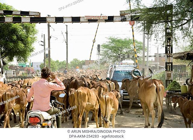 Cows walking on road, mathura, uttar pradesh, india, asia
