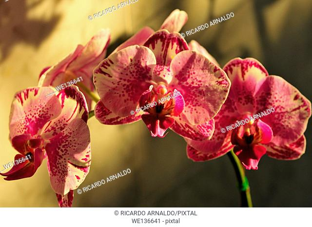 Pink Phaelonopsis Orchid