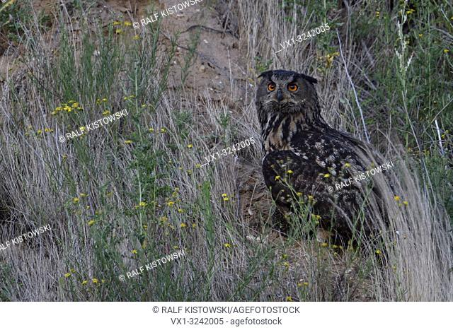 Eurasian Eagle Owl ( Bubo bubo ), adult, sitting with prey in the grass of a slope of a sand pit, watching, at dusk, wildlife, Europe