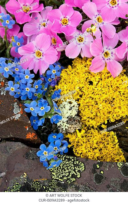 Siberian phlox, Arctic forget-me-nots and yellow lichen thrive on the hills above the Kongakut River