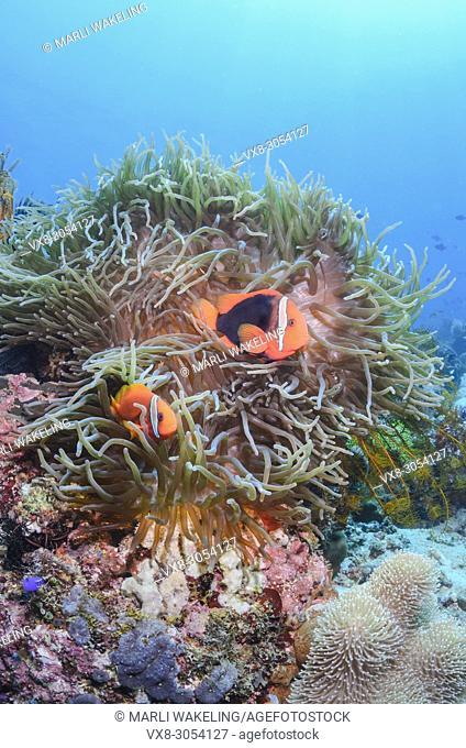 Tomato anemonefish, Amphiprion frenatus, Anilao, Batangas, Philippines, Pacific