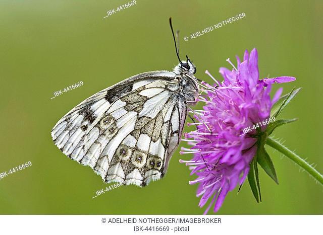 Marbled white (Melanargia galathea) butterfly, on flower, Burgenland, Austria