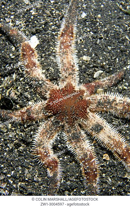 Sea Star (Luidia sp. ), on black sand, Night dive, TK1 dive site, Lembeh Straits, Sulawesi, Indonesia