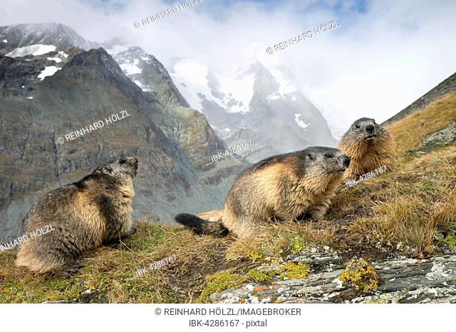Alpine marmots (Marmota marmota), Kaiser-Franz-Josefs-Höhe, High Tauern National Park, Carinthia, Austria
