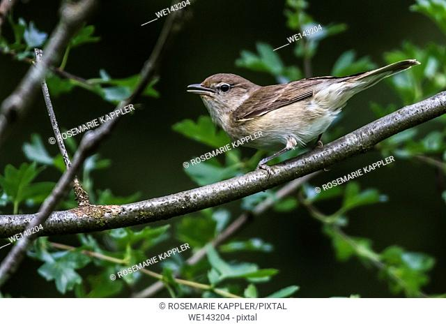 Germany, saarland, bexbach - A garden warbler is sitting on a branch