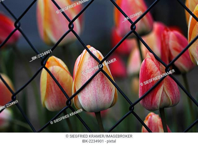 Closed tulip flowers, tulips (Tulipa), behind mesh wire fence, garden, Baden-Wuerttemberg, Germany, Europe