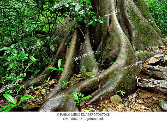 Detail of the roots of a tree in Kuskem, Cotigao, Goa, India