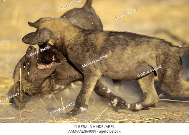Cape Hunting Dog (Lycaon pictus) Pups playing, Khwai River, Moremi, Botswana