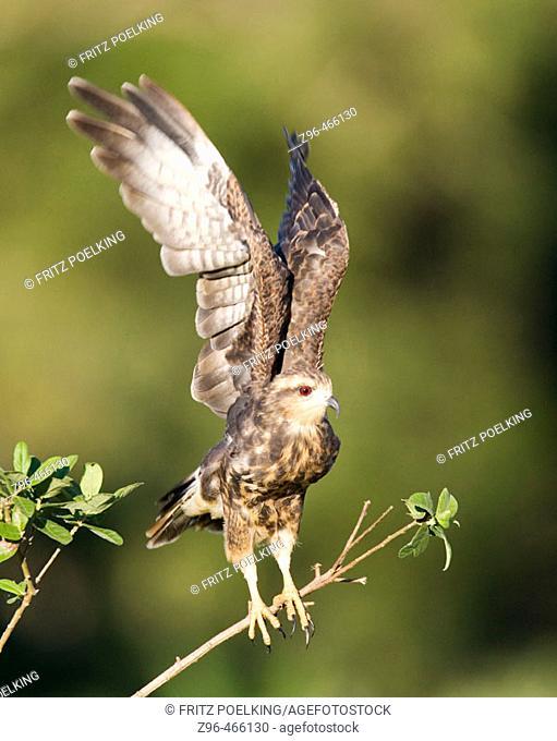 Snail kite (Rostrhamus sociabilis). Pantanal, the world largest wetland, Brazil, South America