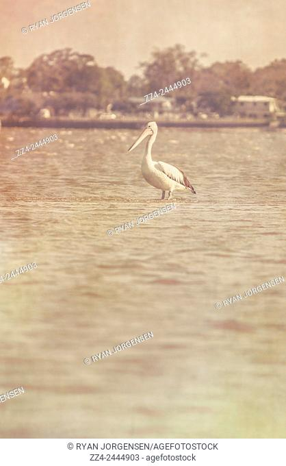 Old style photograph of a pelican wading on a flooded sandbank from an incoming tide. Vintage wildlife