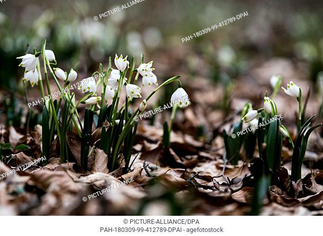 09 March 2018,Germany, Hameln: Snowflakes (Leucojum vernum) bloom in a forest clearing near the river Weser. These flowers tend to come out in early spring and...