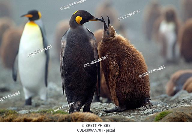 King Penguin with chick, Macquarie Island, Southern Ocean
